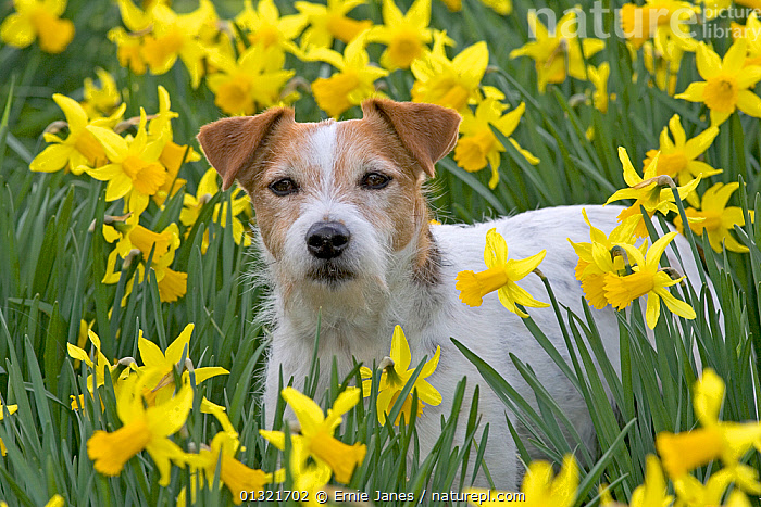 Jack Russell terrier in garden amongst daffodils, UK, March  ,  COLOURFUL,DAFFODIL,DOG,DOGS,EUROPE,FLOWERS,GARDENS,MEDIUM DOGS,NARCISSUS,OUTDOORS,PETS,SPRING,TERRIERS,UK,VERTEBRATES,YELLOW,United Kingdom,Canids  ,  Ernie Janes