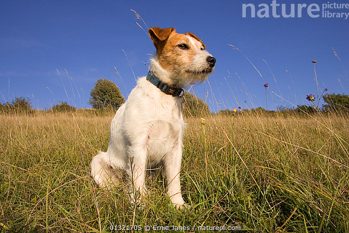 Jack Russell terrier sitting in long grass, UK, September  ,  COUNTRYSIDE,DOG,DOGS,EUROPE,FIELDS,GARDENS,MEDIUM DOGS,OUTDOORS,PETS,PORTRAITS,TERRIERS,UK,VERTEBRATES,VERTICAL,United Kingdom,Canids  ,  Ernie Janes