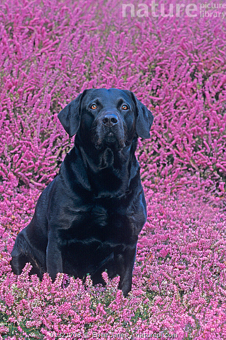 Black labrador amongst heather, UK  ,  animal portrait,BLACK,catalogue3,close up,CLOSE UPS,contrasting,contrasts,Dog,DOGS,EUROPE,facial expression,FLOWERS,front view,gundogs,heather,labrador,large dogs,looking at camera,Nobody,one animal,outdoors,PETS,PURPLE,retriever,serious,solemn,TEXTURED,UK,VERTEBRATES,VERTICAL,United Kingdom  ,  Ernie Janes