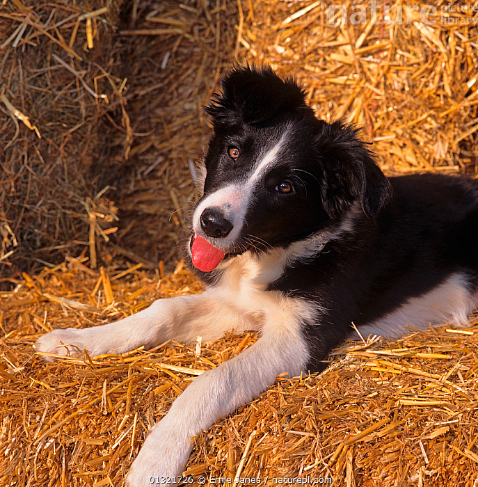Border Collie, portrait on straw, UK  ,  DOG,DOGS,HIGH ANGLE SHOT,MEDIUM DOGS,PANTING,PASTORAL DOGS,PETS,SHEEPDOG,UK,VERTEBRATES,Europe,United Kingdom  ,  Ernie Janes