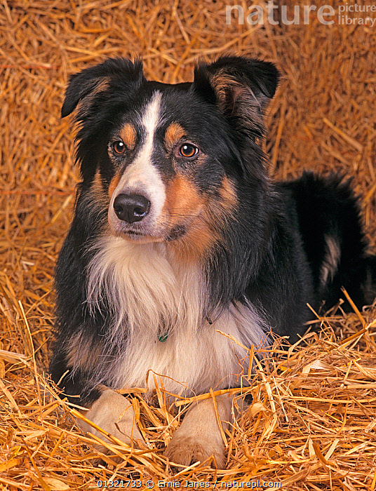 Border Collie, portrait on straw, UK  ,  DOG,DOGS,MEDIUM DOGS,PASTORAL DOGS,PETS,SHEEPDOG,UK,VERTEBRATES,VERTICAL,Europe,United Kingdom  ,  Ernie Janes