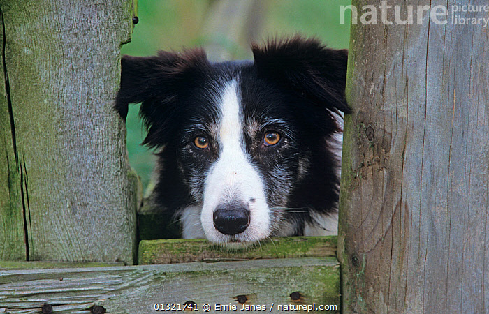 Border Collie, working dog looking through gate, Wales, UK  ,  animal head,animal marking,animal portrait,black and white,Border Collie,catalogue3,close up,CLOSE UPS,CUTE,Dog,DOGS,facial expression,front view,gate,HEADS,INTELLIGENCE,looking at camera,looking through,loyalty,medium dogs,Nobody,one animal,outdoors,pastoral dogs,PETS,PORTRAITS,serious,sheepdog,UK,VERTEBRATES,WALES,Wood,WOODEN,working animal,Europe,United Kingdom  ,  Ernie Janes