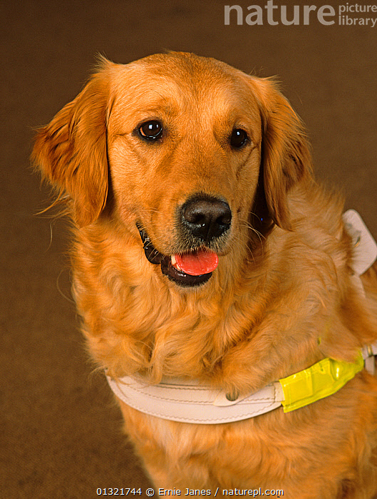 Golden retriever in harness, Guide Dog for the Blind, portrait, UK  ,  BLIND,DISABLED,DOG,DOGS,GUNDOGS,HELPFUL,LARGE DOGS,PEOPLE,PETS,PORTRAITS,VERTICAL,WORKING,Europe,United Kingdom  ,  Ernie Janes