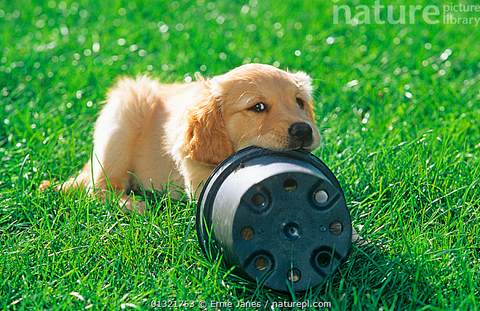 Golden retriever, puppy chewing plastic plant pot in garden, UK  ,  BABIES,BEHAVIOUR,DOG,DOGS,GARDENS,GUNDOGS,LARGE DOGS,OUTDOORS,PETS,PORTRAITS,UK,VERTEBRATES,Europe,United Kingdom  ,  Ernie Janes