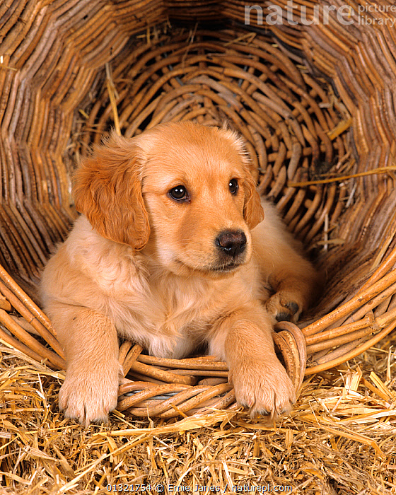 Golden retriever, puppy in basket  ,  BABIES,CUTE,DOG,DOGS,GUNDOGS,LARGE DOGS,PETS,PORTRAITS,PUPPY,UK,VERTEBRATES,VERTICAL,Europe,United Kingdom  ,  Ernie Janes