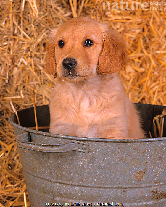 Golden retriever, puppy in bucket  ,  BABIES,CUTE,DOG,DOGS,GUNDOGS,LARGE DOGS,PETS,PORTRAITS,UK,VERTEBRATES,VERTICAL,Europe,United Kingdom  ,  Ernie Janes