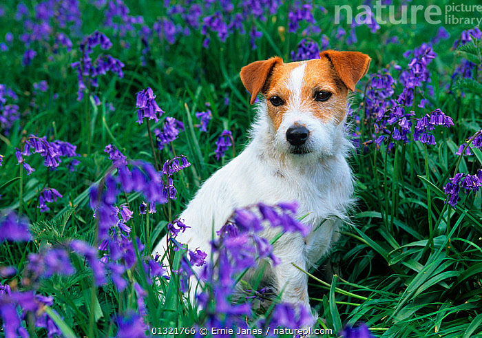 Jack russell terrier amongst Bluebell flowers, UK  ,  BLUE,BLUEBELLS,DOG,DOGS,FLOWERS,MEDIUM DOGS,OUTDOORS,PETS,SMALL DOGS,SPRING,TERRIERS,UK,VERTEBRATES,Europe,United Kingdom,Canids  ,  Ernie Janes