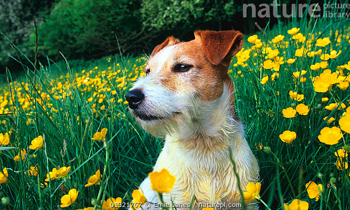 Jack russell terrier amongst Daffodil flowers, UK  ,  DAFFODILS,DOG,DOGS,FLOWERS,MEDIUM DOGS,NARCISSUS,OUTDOORS,PETS,SMALL DOGS,TERRIERS,UK,VERTEBRATES,YELLOW,Europe,United Kingdom,Canids  ,  Ernie Janes
