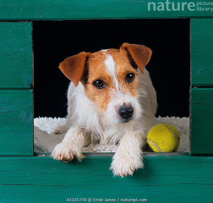 Jack russell terrier looking out from kennel, with ball,  ,  DOG,DOGS,GREEN,KENNELS,MEDIUM DOGS,PETS,SMALL DOGS,TERRIERS,TOY,UK,VERTEBRATES,Europe,United Kingdom  ,  Ernie Janes