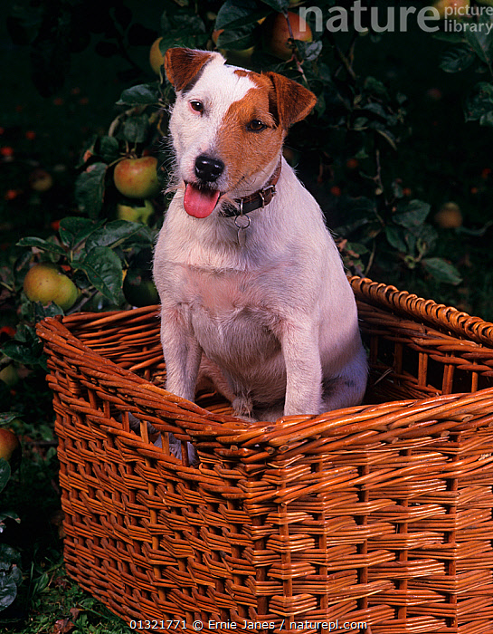 Jack russell terrier sitting in pcinic basket  ,  DOG,DOGS,MEDIUM DOGS,OUTDOORS,PANTING,PATCH,PETS,SMALL DOGS,TERRIERS,UK,VERTEBRATES,VERTICAL,Europe,United Kingdom  ,  Ernie Janes