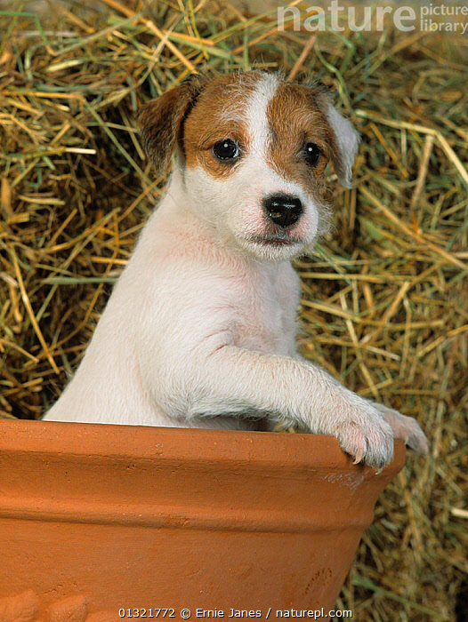 Jack russell terrier puppy in terracotta pot  ,  BABIES,CUTE,DOG,DOGS,MEDIUM DOGS,PETS,PUPPY,SMALL DOGS,TERRIERS,UK,VERTEBRATES,VERTICAL,Europe,United Kingdom  ,  Ernie Janes
