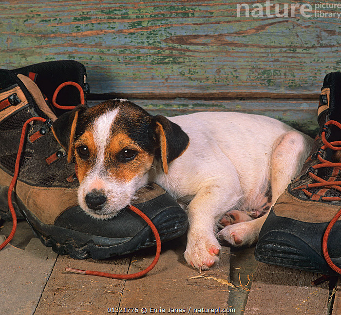 Jack russell terrier puppy resting on hiking boots  ,  animal portrait,BABIES,boots,catalogue3,close up,CLOSE UPS,CUTE,Dog,DOGS,facial expression,footwear,front view,hiking boot,INDOORS,lying on floor,medium dogs,Nobody,one animal,PETS,puppy,resting,shoes,small dogs,terriers,UK,VERTEBRATES,VERTICAL,young animal,Europe,United Kingdom,Canids  ,  Ernie Janes
