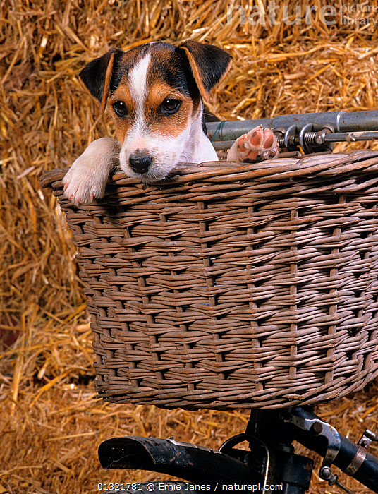 Jack russell terrier puppy in bicycle basket, UK  ,  BABIES,BICYCLE,CUTE,CYCLING,DOG,DOGS,MEDIUM DOGS,PETS,PUPPY,SMALL DOGS,TERRIERS,UK,VERTEBRATES,VERTICAL,Europe,United Kingdom  ,  Ernie Janes
