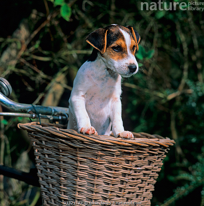 Jack russell terrier puppy in bicycle basket, UK  ,  BABIES,BICYCLE,CUTE,DOG,DOGS,MEDIUM DOGS,PETS,PUPPY,SMALL DOGS,TERRIERS,UK,VERTEBRATES,VERTICAL,Europe,United Kingdom  ,  Ernie Janes