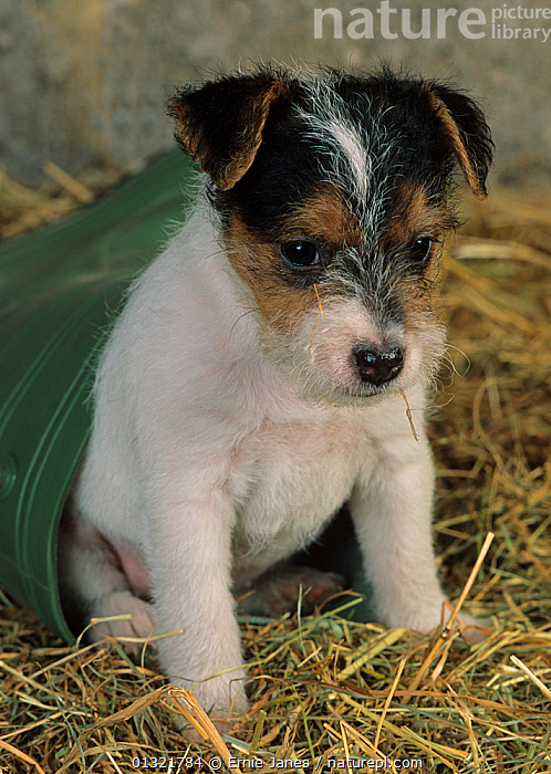 Jack russell terrier puppy in plastic bucket, UK  ,  BABIES,CUTE,DOG,DOGS,MEDIUM DOGS,PETS,PUPPY,SMALL DOGS,TERRIERS,UK,VERTEBRATES,VERTICAL,Europe,United Kingdom  ,  Ernie Janes