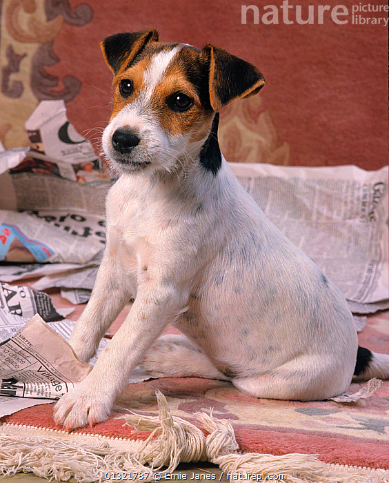 Jack russell terrier puppy on newspaper, UK  ,  BABIES,CUTE,DOG,DOGS,INDOORS,MEDIUM DOGS,PAPER,PETS,PORTRAITS,PUPPY,SMALL DOGS,TERRIERS,UK,VERTEBRATES,VERTICAL,Europe,United Kingdom  ,  Ernie Janes