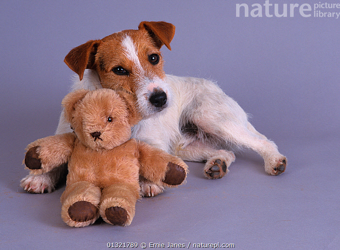Jack russell terrier, studio portrait with teddy bear  ,  CUTE,CUTOUT,DOG,DOGS,MEDIUM DOGS,PETS,SMALL DOGS,TERRIERS,UK,VERTEBRATES,VERTICAL,Europe,United Kingdom,Canids  ,  Ernie Janes