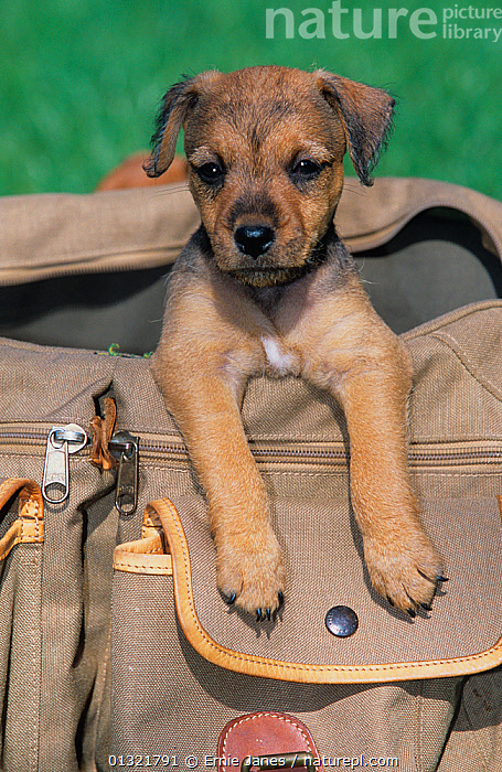 Border terrier puppy  ,  ALERT,BABIES,BREED,COMPANION,CUTE,DOG,DOGS,DOMESTIC,PORTRAIT,SPORTING,TERRIERS  ,  Ernie Janes