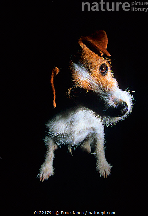 Jack russell terrier, studio portrait  ,  DOG,DOGS,MEDIUM DOGS,PETS,PORTRAITS,SMALL DOGS,TERRIERS,UK,VERTEBRATES,VERTICAL,Europe,United Kingdom,Canids  ,  Ernie Janes