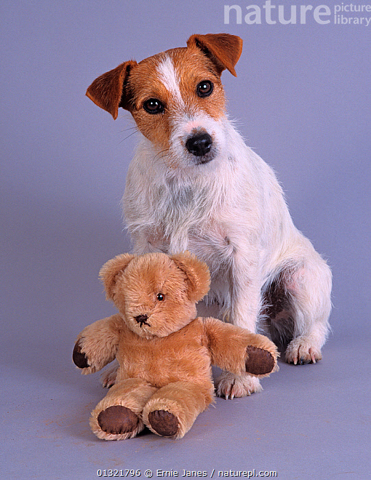 Jack russell terrier, studio portrait with teddy bear  ,  CUTE,CUTOUT,DOG,DOGS,MEDIUM DOGS,PETS,PORTRAITS,SMALL DOGS,TERRIERS,UK,VERTEBRATES,VERTICAL,Europe,United Kingdom  ,  Ernie Janes