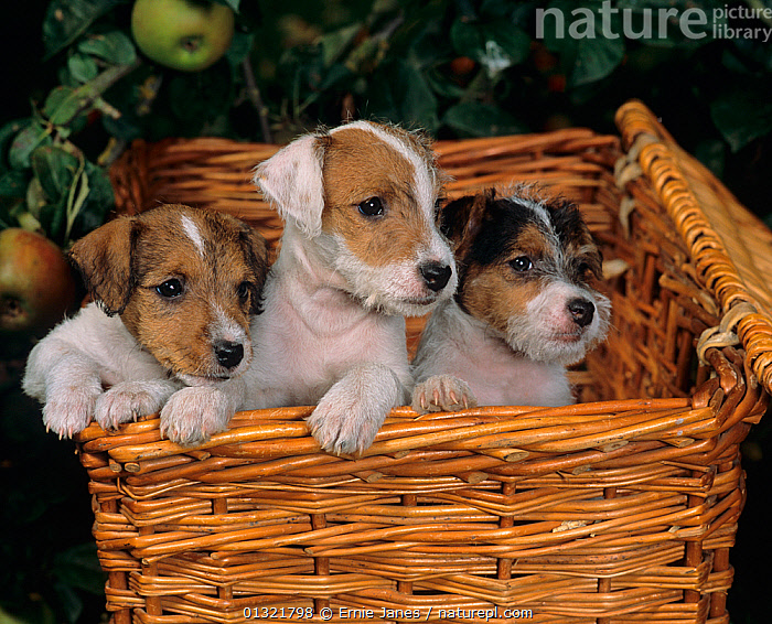 Jack russell terrier, three puppies in picnic basket  ,  BABIES,CUTE,DOG,DOGS,GROUPS,MEDIUM DOGS,OUTDOORS,PETS,PUPPY,SMALL DOGS,TERRIERS,UK,VERTEBRATES,Europe,United Kingdom  ,  Ernie Janes