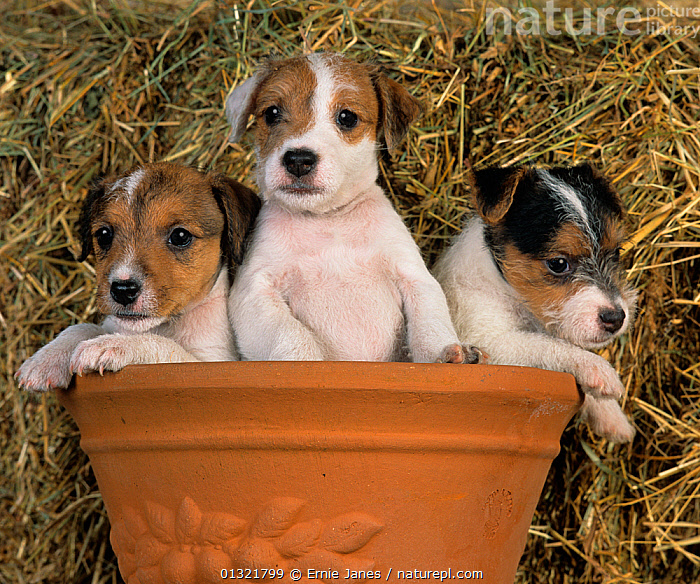 Jack russell terrier, three puppies in terracotta pot  ,  BABIES,CUTE,DOG,DOGS,GROUPS,MEDIUM DOGS,PETS,PUPPY,SMALL DOGS,TERRIERS,THREE,UK,VERTEBRATES,Europe,United Kingdom  ,  Ernie Janes