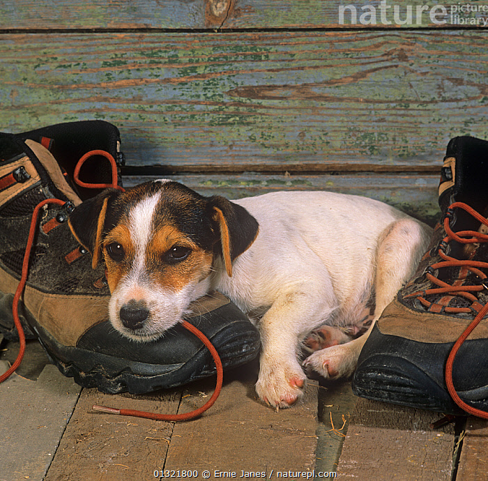 Jack russell terrier, puppy resting on hiking boot  ,  BEHAVIOUR,BOOTS,CHEWING,DOG,DOGS,INDOORS,MEDIUM DOGS,PETS,PUPPY,SHOES,SMALL DOGS,TERRIERS,UK,VERTEBRATES,Europe,United Kingdom,Canids  ,  Ernie Janes