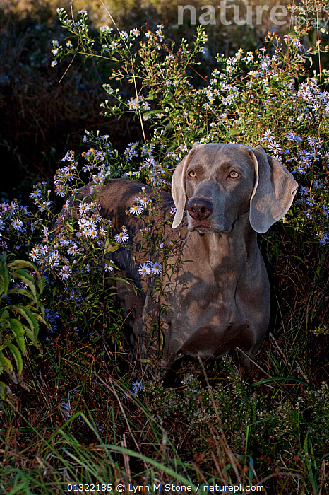 Weimaraner amongst wild aster flowers and grasses, Connecticut, USA (LG), AUTUMN,DOG,DOGS,FLOWERS,HOUNDS,LARGE DOGS,OUTDOORS,PETS,SCENTHOUNDS,USA,VERTEBRATES,VERTICAL,North America,Canids, Lynn M Stone