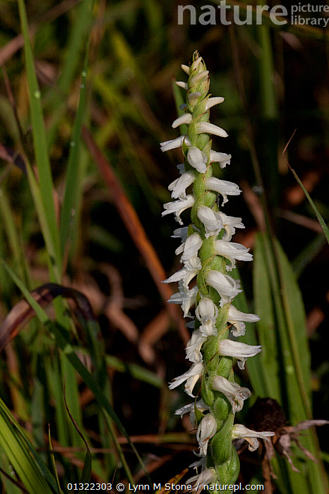 Nature Picture Library Nodding Ladies Tresses Orchid Spiranthes Cernua Growing In Drier Part Of A Fen Elgin Illinois Usa Lynn M Stone