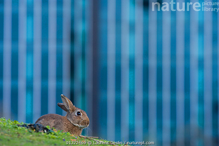 Rabbit (Oryctolagus cuniculus) sitting on grass in a Paris park. France.  ,  anxious,catalogue3F,Cautious,CITIES,close up,CLOSE UPS,CUTE,differential focus,EUROPE,focus on foreground,FRANCE,Grass,lagomorphs,MAMMALS,negative space,Nobody,one animal,outdoors,paris,public park,RABBITS,selective focus,side view,SITTING,URBAN,Urban Safari book,VERTEBRATES,WILDLIFE,Plants  ,  Laurent Geslin