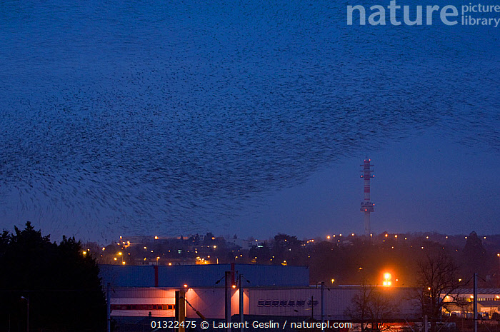 Starlings (Sturnus vulgaris) flying in to roost in city, France.  ,  ACTION,BIRDS,blue sky,catalogue3F,CITIES,city,DUSK,EUROPE,Evening,flock of birds,FLYING,ILLUMINATED,large group,large group of animals,lit up,many,NIGHT,Nobody,on the move,outdoors,roosting,SKY,STARLINGS,twilight,URBAN,Urban Safari book,VERTEBRATES,WILDLIFE  ,  Laurent Geslin