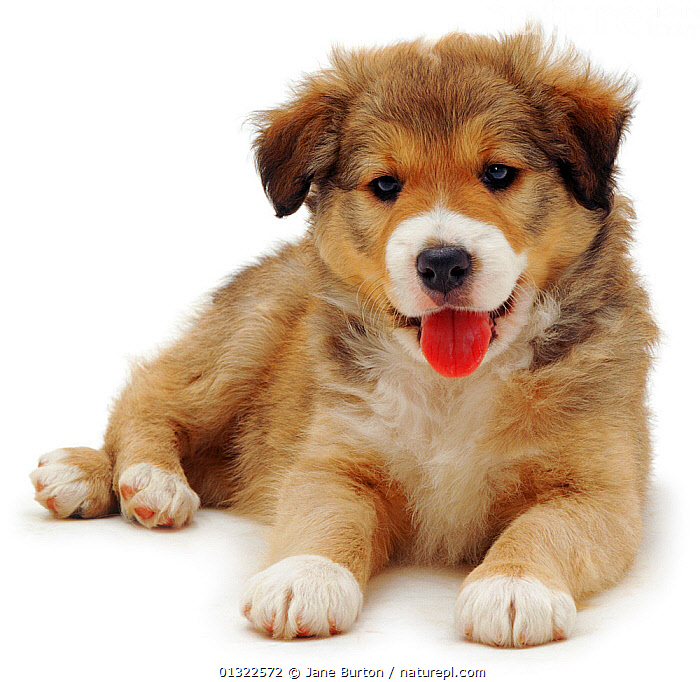 Cute Border Collie puppy lying.  ,  BABIES,Border Collie,CANIDS,catalogue4,close up,Collie dog,CUTE,CUTOUT,DOGS,front view,full length,looking at camera,lying,lying on ground,medium dogs,Nobody,one animal,pastoral dogs,PETS,PORTRAITS,puppies,puppy,SMILING,Studio,studio shot,tongue,TONGUES,VERTEBRATES,watchful,WHITE,white background,YOUNG  ,  Jane Burton