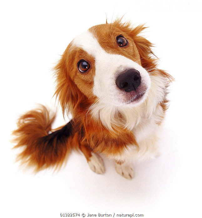 Border Collie bitch sitting looking up into the camera.  ,  BABIES,CANIDS,CUTE,CUTOUT,DOGS,EXPRESSIONS,FACES,LOOKING AT CAMERA,MEDIUM DOGS,PASTORAL DOGS,PETS,PORTRAITS,PUPPIES,PUPPY,SITTING,STUDIO,VERTEBRATES,WHITE,YOUNG,,Cutout,White background,  ,  Jane Burton