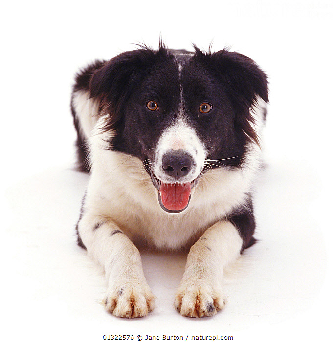 Portrait of Black-and-white Border Collie bitch.  ,  BLACK,CANIDS,CUTE,CUTOUT,DOGS,EXPRESSIONS,LOOKING AT CAMERA,LYING,MEDIUM DOGS,PASTORAL DOGS,PETS,PORTRAITS,SMILING,STUDIO,SYMMETRY,VERTEBRATES,WHITE  ,  Jane Burton