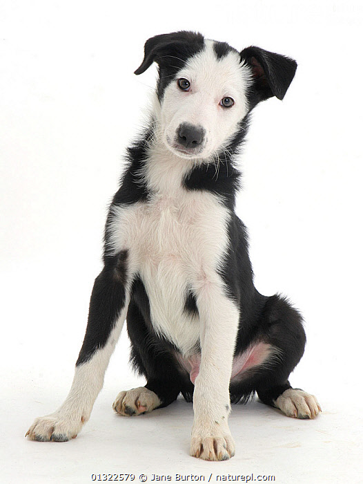 White-faced black-and-white Border Collie puppy.  ,  animal marking,animal theme,BABIES,BLACK,black colour,CANIDS,catalogue4,curiosity,CUTE,CUTOUT,direct gaze,disbelief,DOGS,front view,full length,human characteristic,inquisitive,looking at camera,medium dogs,Nobody,one animal,pastoral dogs,PETS,PORTRAITS,puppies,puppy,questioning,SITTING,Studio,studio shot,VERTEBRATES,VERTICAL,WHITE,white background,white colour,YOUNG,young animal  ,  Jane Burton