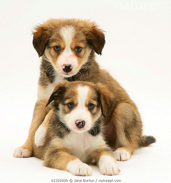 Two Sable Border Collie puppies.  ,  AFFECTIONATE,animal theme,BABIES,Border Collie,CANIDS,catalogue4,close up,Collie dog,CUTE,CUTOUT,DOGS,FRIENDS,looking at camera,medium dogs,Nobody,pastoral dogs,PETS,PORTRAITS,puppies,puppy,sable colour,serious,siblings,Studio,studio shot,two,two animals,VERTEBRATES,WHITE,YOUNG,,Cutout,White background,  ,  Jane Burton