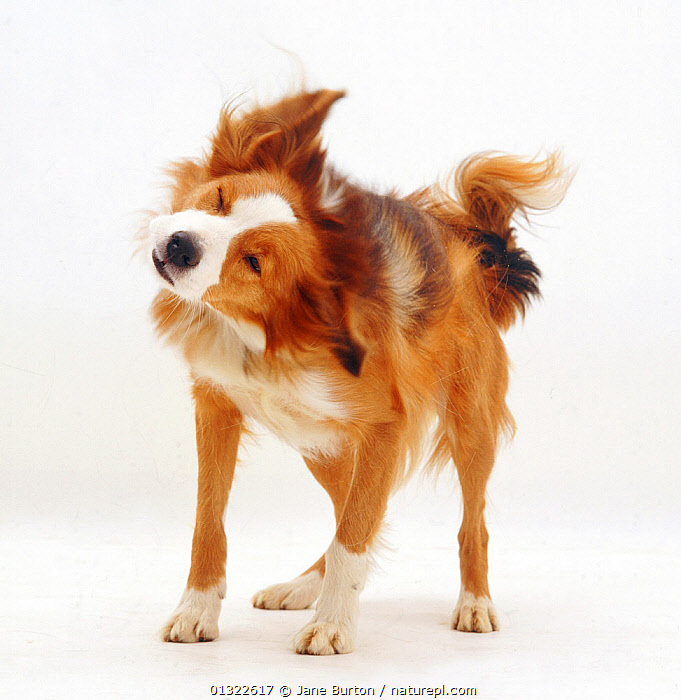 Border Collie having a good shake.  ,  ACTION,animal theme,Border Collie,CANIDS,catalogue4,close up,Collie dog,CUTE,CUTOUT,DOGS,ENJOYMENT,eyes closed,full length,FUR,HUMOROUS,medium dogs,MOVEMENT,Nobody,one animal,pastoral dogs,PETS,PORTRAITS,satisfaction,shaking,STANDING,Studio,studio shot,VERTEBRATES,WHITE,white background,Concepts  ,  Jane Burton