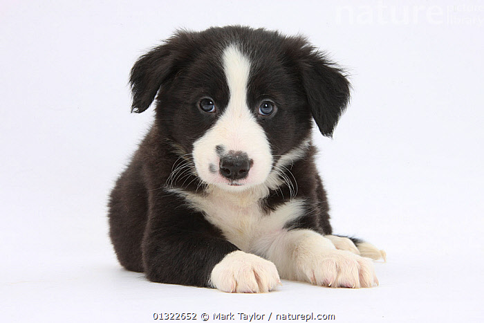 Border Collie puppy.  ,  animal portrait,animal theme,BABIES,BLACK,black colour,Border Collie,CANIDS,catalogue4,close up,Collie dog,CUTE,CUTOUT,direct gaze,DOGS,front view,hopeful,looking at camera,lying,medium dogs,Nobody,one animal,pastoral dogs,PETS,PORTRAITS,puppies,puppy,SAD,Studio,studio shot,VERTEBRATES,WHITE,white background,white colour,YOUNG,young animal,Concepts  ,  Mark Taylor