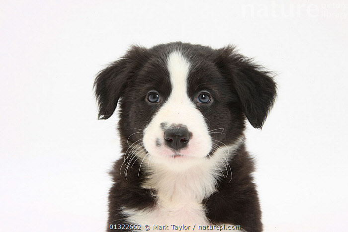 Border Collie puppy portrait.  ,  animal head,animal marking,animal portrait,animal theme,BABIES,BLACK,black colour,Border Collie,CANIDS,catalogue4,close up,Collie dog,CUTE,CUTOUT,DOGS,EXPRESSIONS,FACES,front view,HEADS,looking at camera,medium dogs,Nobody,one animal,pastoral dogs,PETS,PORTRAITS,puppies,puppy,Studio,studio shot,trusting,VERTEBRATES,WHITE,white background,white colour,YOUNG,young animal  ,  Mark Taylor