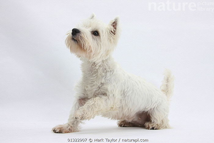 West Highland White Terrier sitting.  ,  CANIDS,CUTE,CUTOUT,DOGS,LYING,PETS,PORTRAITS,SMALL DOGS,STUDIO,TERRIERS,VERTEBRATES,WESTIE,WESTIES,WHITE  ,  Mark Taylor