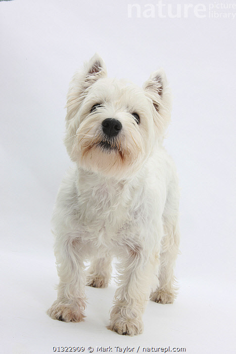 West Highland White Terrier standing.  ,  CANIDS,CUTE,CUTOUT,DOGS,PETS,PORTRAITS,SMALL DOGS,STUDIO,TERRIERS,VERTEBRATES,VERTICAL,WESTIE,WESTIES,WHITE  ,  Mark Taylor