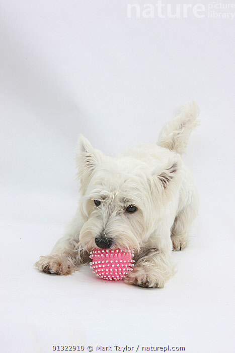 West Highland White Terrier playing with toy.  ,  CANIDS,CUTE,CUTOUT,DOGS,LYING,PETS,PLAY,PLAYING,PORTRAITS,SMALL DOGS,STUDIO,TERRIERS,VERTEBRATES,VERTICAL,WESTIE,WESTIES,WHITE,Communication  ,  Mark Taylor