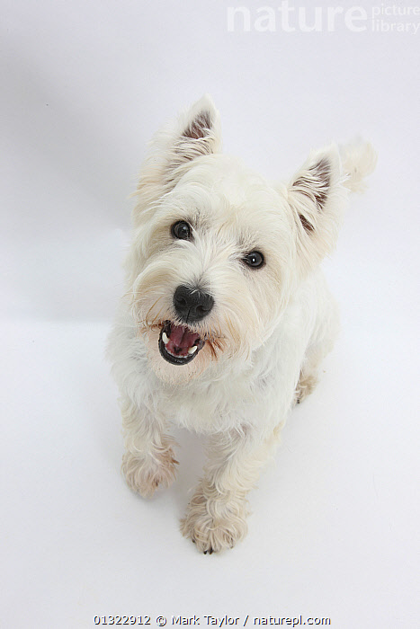 West Highland White Terrier sitting.  ,  CANIDS,CUTE,CUTOUT,DOGS,LOOKING AT CAMERA,PETS,PORTRAITS,SMALL DOGS,STUDIO,TERRIERS,VERTEBRATES,VERTICAL,WESTIE,WESTIES,WHITE  ,  Mark Taylor