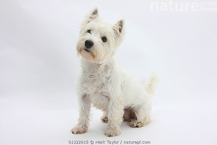 West Highland White Terrier sitting.  ,  CANIDS,CUTE,CUTOUT,DOGS,EXPRESSIONS,PETS,PORTRAITS,SITTING,SMALL DOGS,STUDIO,TERRIERS,VERTEBRATES,WESTIE,WESTIES,WHITE  ,  Mark Taylor