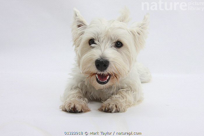West Highland White Terrier lying.  ,  CANIDS,CUTE,CUTOUT,DOGS,LYING,PETS,PORTRAITS,SMALL DOGS,STUDIO,TERRIERS,VERTEBRATES,WESTIE,WESTIES,WHITE  ,  Mark Taylor