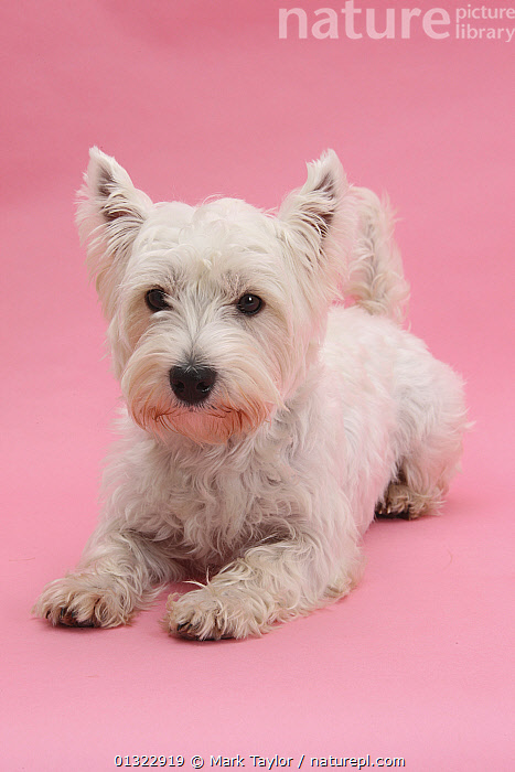 West Highland White Terrier lying against a pink background.  ,  CANIDS,CUTE,CUTOUT,DOGS,LOOKING AT CAMERA,LYING,PETS,PINK,PORTRAITS,SMALL DOGS,STUDIO,TERRIERS,VERTICAL,WESTIE,WESTIES,WHITE  ,  Mark Taylor