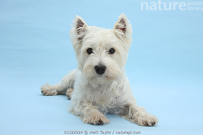 West Highland White Terrier against a blue background.  ,  BLUE,CANIDS,CUTE,CUTOUT,DOGS,LYING,PETS,PORTRAITS,SMALL DOGS,STUDIO,TERRIERS,VERTEBRATES,WESTIE,WESTIES,WHITE  ,  Mark Taylor