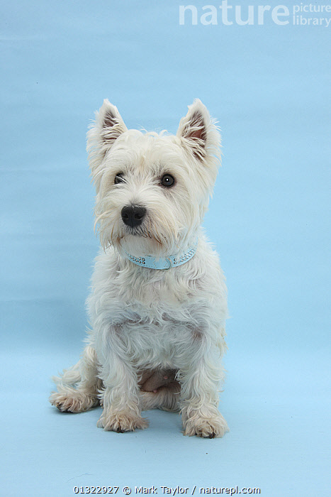 West Highland White Terrier against a blue background.  ,  BLUE,CANIDS,CUTE,CUTOUT,DOGS,PETS,PORTRAITS,SITTING,SMALL DOGS,STUDIO,TERRIERS,VERTEBRATES,VERTICAL,WESTIE,WESTIES,WHITE  ,  Mark Taylor