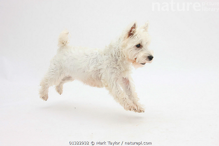RF- West Highland White Terrier prancing.  ,  ACTION,CANIDS,CUTE,CUTOUT,DOGS,JUMPING,MOVEMENT,PETS,PORTRAITS,small dogs,Studio,terriers,VERTEBRATES,westie,westies,,CANIS FAMILIARIS,Canis familiaris,Excitement,Eagerness,Enthusiasm,Enthusiastic,Excited,Colour,White,Mid Air,Nobody,Copy Space,Plain Background,White Background,Profile,Side View,Animal,Indoors,Studio Shot,Domestic animal,Pet,Domestic Dog,Terrier,Domesticated,Canis familiaris,Dog,Negative space,Prancing,Mammal,RF,Royalty free,RFCAT1,RF17Q1,  ,  Mark Taylor