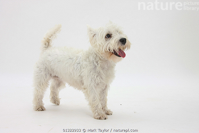 West Highland White Terrier standing.  ,  CANIDS,CUTE,CUTOUT,DOGS,PETS,PORTRAITS,SMALL DOGS,SMILING,STUDIO,TERRIERS,VERTEBRATES,WESTIE,WESTIES,WHITE  ,  Mark Taylor